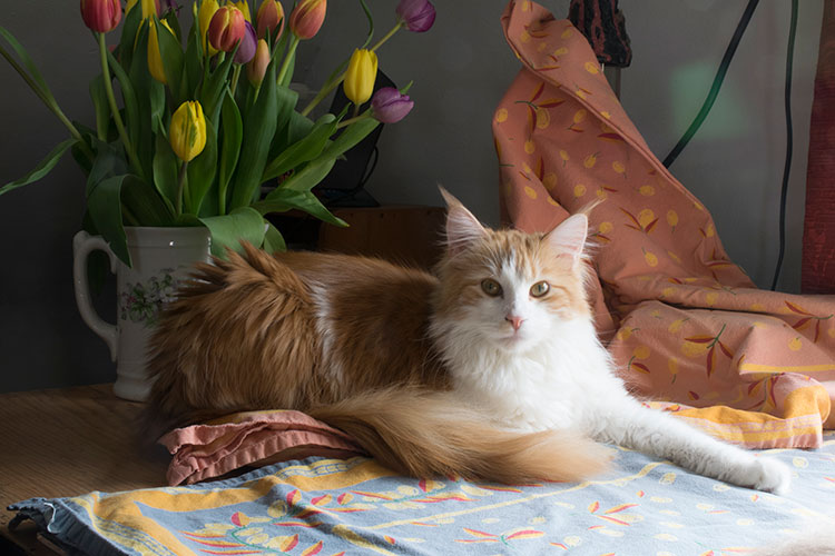 Photograph of the orange Maine Coon cat used as the subject in this oil pastel painting.